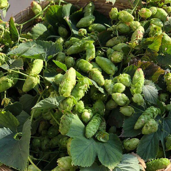 la pianta del luppolo per la birra di Portofino