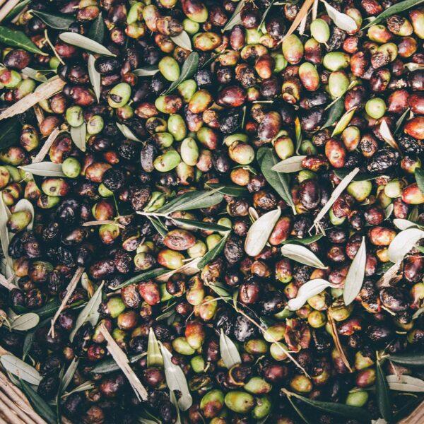 oliva tagiasca tipica del monte di portofino degustazioni